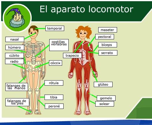 Sistema locomotor del cuerpo humano para niños - Imagui